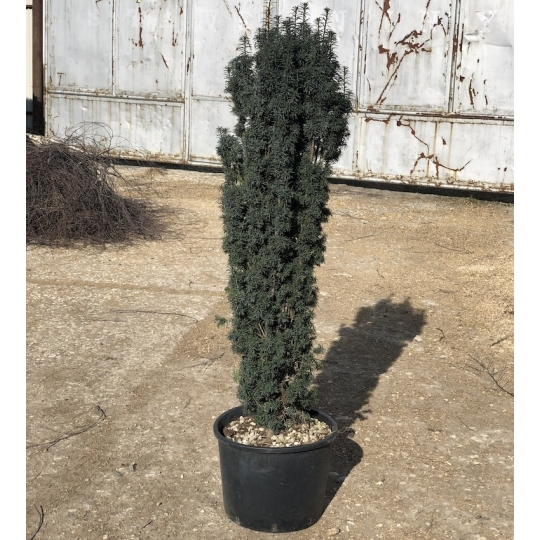TAXUS BACCATA FAST. 120/130 C25