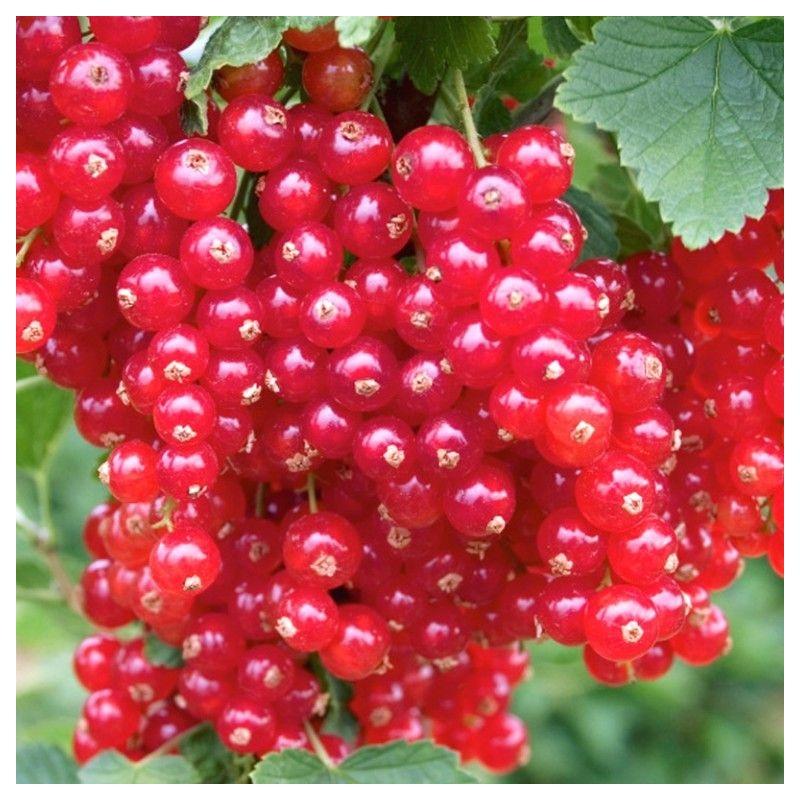 Červená ríbezľa DETVAN, stromčeková