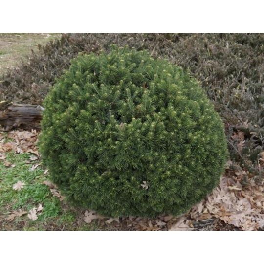 Jedľa plstnatoplodá GREEN GLOBE, 20-30cm, kont. 7,5l