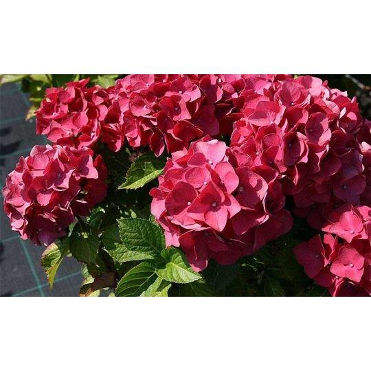 Hortenzai veľkolistá RED BARON, 20-30cm, kont. 1,4l