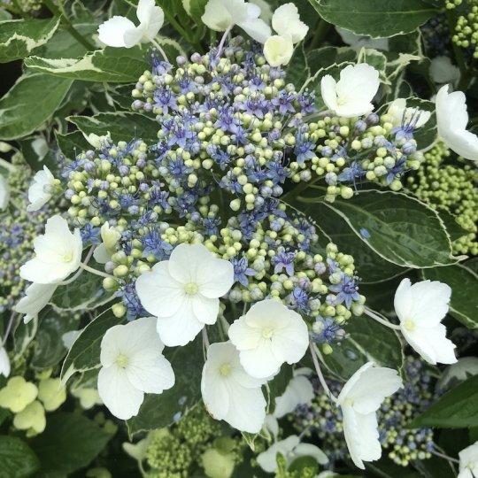 Hortenzia veľkolistá 'Tricolor', Hydrangea macrophylla 'Tricolor', kont. 10l