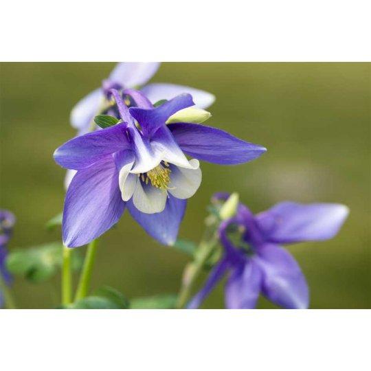 Orlíček vejárovitý 'SPRING MAGIC BLUE WHITE', kont. 0,5l