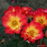 Ruža kríková 'SUMMER OF LOVE®', Kordes, kont. 2l