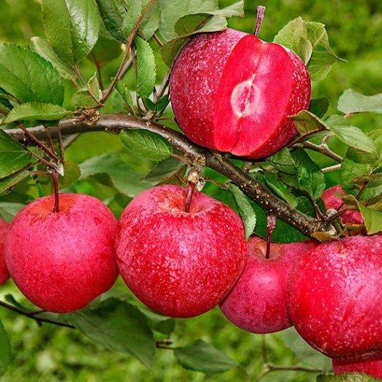 Jabloň ´Baya ® Marisa´, zimná, nová odroda