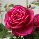 Ruža mnohokvetá 'FÜR ELISE', Kordes, kont. 2l