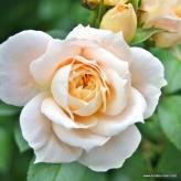 Ruža mnohokvetá 'LIONS-ROSE®', kont. 2l