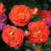 Ruža mnohokvetá 'GEBRÜDER GRIMM®', kont. 2l