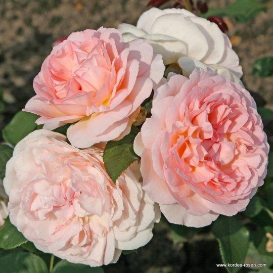 Ruža mnohokvetá 'MÄRCHENZAUBER®', kont. 2l
