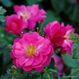 Ruža mnohokvetá 'HOTLINE®', kont. 2l