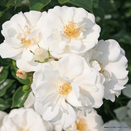 Ruža mnohokvetá 'INNOCENCIA®', Kordes, kont. 2l