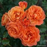 Ruža mnohokvetá 'PHOENIX', Kordes na kmeni