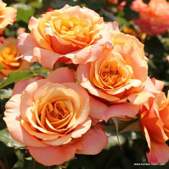 Ruža kríková 'LA VILLA COTTA®', Kordes, kont. 2l