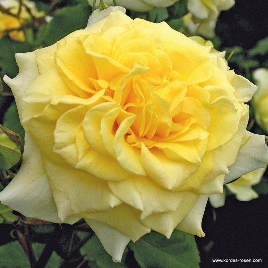 Ruža kríková STERNTALER®', Kordes, kont. 2l