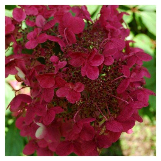Hortenzia metlinata, Hydrangea paniculata 'Wim_s Red', 9 X 9     15 - 20 cm