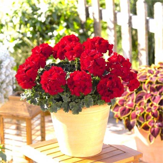 Muškát červený 'REALLY RED'