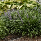 Liriope muscari ´BIG BLUE´, kont. 0,5l
