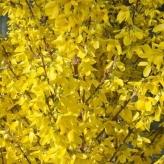 Zlatý dážď 'MINI GOLD', 40-60cm, kont. 2,5l
