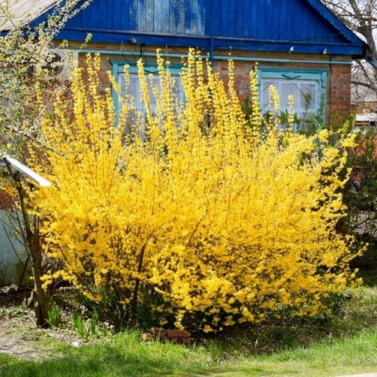 Zlatý dážď 'LYNWOOD GOLD', 40-60cm, kont. 3l