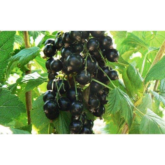 Ríbezľa TISEL, čierna, voľný koreň