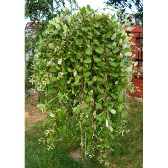 Salix Caprea Kilmarnock - previslá vŕba