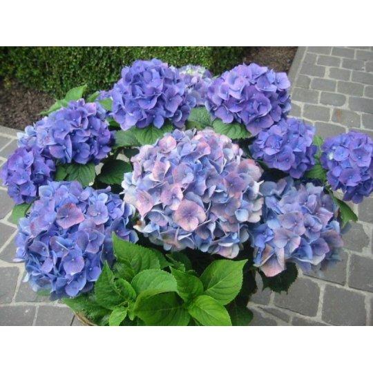 """Hydrangea macr. """"Blauer Zwerg"""", 10-15 cm, K9"""