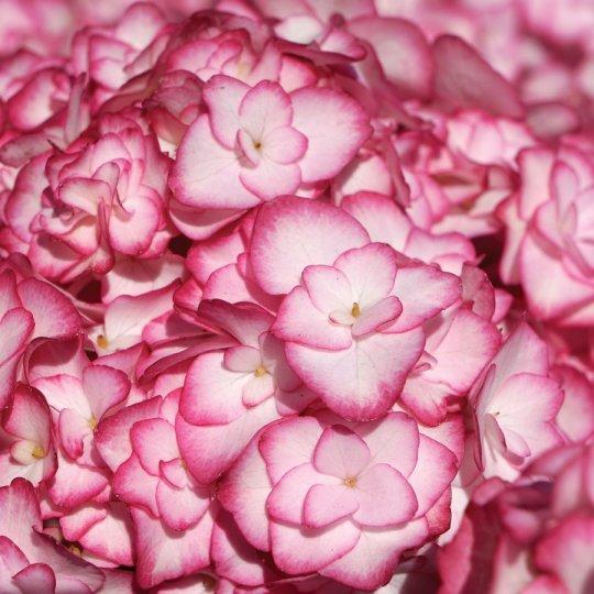 "Hydrangea macr. ""Miss Saori"", 10-15 cm, K9"