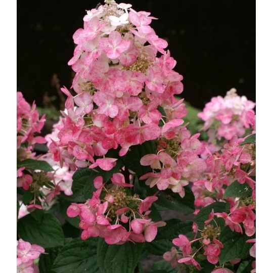 Hortenzia metlinatá ´MAGICAL FIRE´ kvetináč 1l