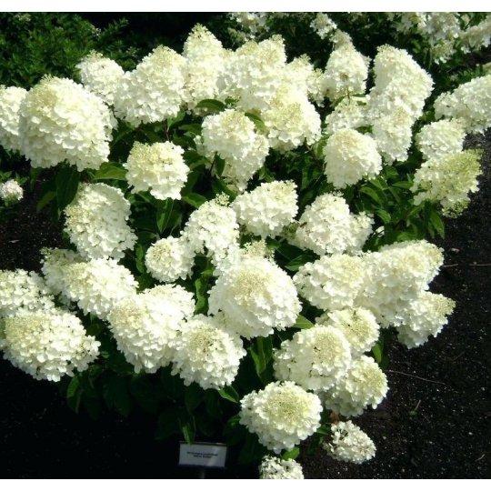 "Hydrangea paniculata ""Silver Dollar"", 10-15 cm, K9"