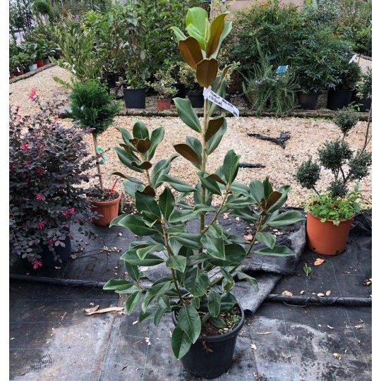 Magnolia grandiflora (Gallisoniensis)