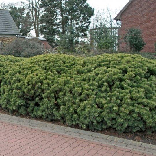 Borovica horská, Pinus mugo ´Mughus´, kont. 2l
