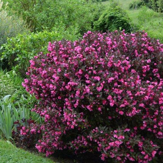 Vajgela kvetnantá ´EVA RATHKE´, Weigela florida ´EVA RATHKE´