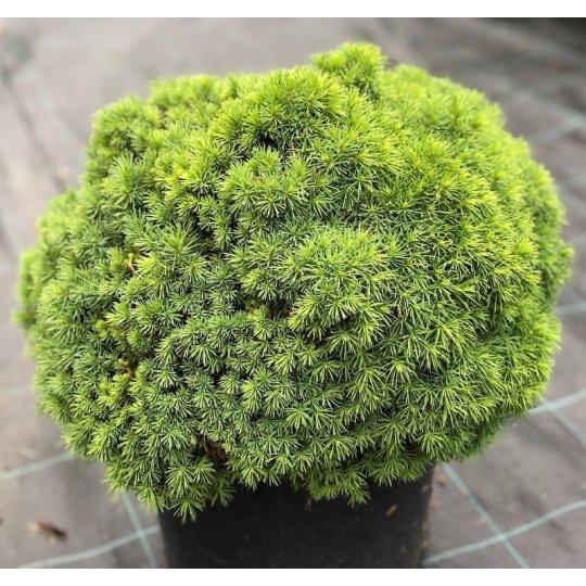 Picea glauca Alberta Globe, Smrek biely kont.10l