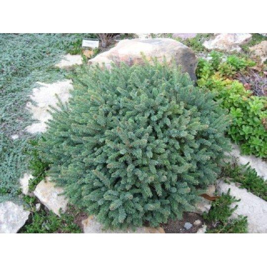 Smrek biely´Echiniformis´, Picea glauca´Echiniformis´,kont.2l