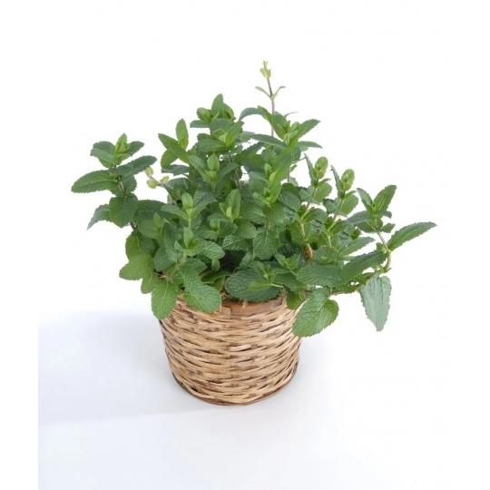 Mäta marocká - výrazná aróma, Mentha spicata MORROCAN, kont. 0,5l