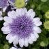 Osteospermum 'DOUBLE LILAC', kont. 0,75l
