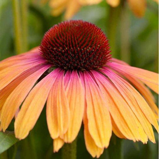 Echinacea hybridná 'RAINBOW MARCELLA', kont. 0,5l
